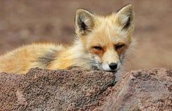 Red fox hiding behind rock Stock Photos