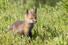 Red Fox hit walking in meadow Royalty Free Stock Photography