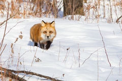 Red fox on a hunt. In snow royalty free stock image