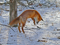 Red Fox is Hunting 1. The red fox is hunting on the mice. It is jumping. Series Stock Photography