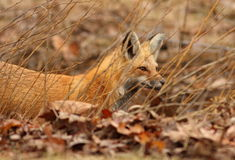 Red fox hunting Stock Photos