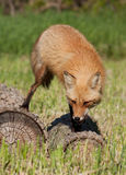 Red fox hunting Royalty Free Stock Photography