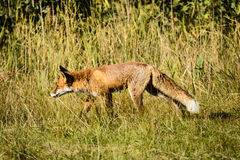 Red fox hunting in field Royalty Free Stock Image