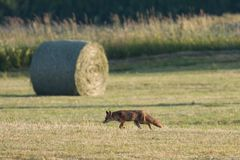 Red fox hunting in a field, Jura, France Stock Photos