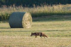 Red fox hunting in a field, Jura, France. Vulpes vulpes, red fox hunting in a field, Jura, France stock photos