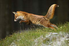 Red Fox. Hunting in the forest Stock Images