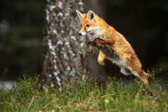 Red Fox. Hunting in forest Royalty Free Stock Photography