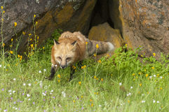 Red fox hunting in green grass and  yellow flowers with rock den Stock Photography