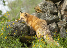 Red fox hunting in green grass and  yellow flowers with rocks on Royalty Free Stock Photography