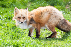 Red fox hunting Stock Photography