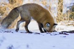 Red fox hunting hunting mices Royalty Free Stock Photo
