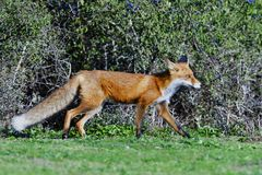 Red fox hunting on a meadow. In fall in sweden stock photos