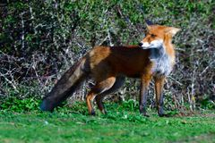 Red fox hunting on a meadow. In fall in sweden stock photography