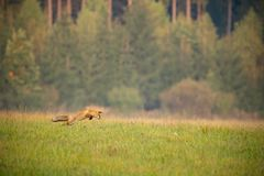Red fox hunting on a meadow with forest in background in autumn. Red fox, Vulpes Vulpes, hunting on a meadow with forest in background in autumn. Landscape with stock photography