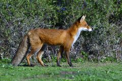 Red fox hunting. On a meadow in sweden in autumn royalty free stock image