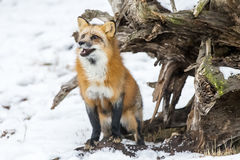 Red Fox. A Red Fox hunting for pray in a snowy environment Stock Images