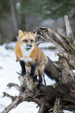 Red Fox. A Red Fox hunting for pray in a snowy environment Royalty Free Stock Photography