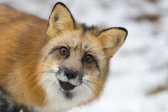 Red Fox. A Red Fox hunting for pray in a snowy environment Stock Photo