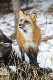 Red Fox. A Red Fox hunting for pray in a snowy environment Stock Photos