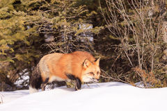 Red fox hunting prey. In forest Royalty Free Stock Photos