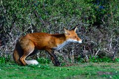 Red fox hunting royalty free stock images