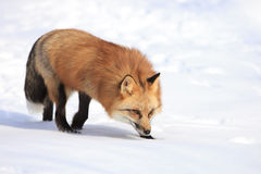 Red fox hunting in snow Royalty Free Stock Images