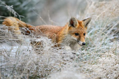 Red Fox. Hunting in the snowy meadow Stock Photos