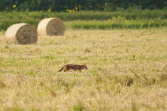 Red Fox hunting. Wild red fox hunting on the field Royalty Free Stock Photography