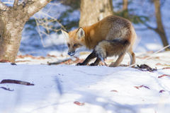 Red fox hunting Royalty Free Stock Photo