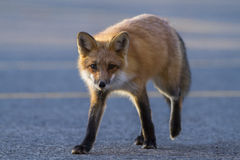 Red fox hunting Stock Image