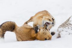 Red Fox In The Snow. A red fox hunts for prey in a snowy forest habitat stock photo