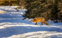 A Red Fox hunts in snow royalty free stock image