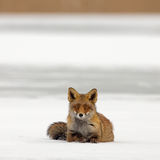 Red Fox on ice. Red fox lies on a frozen lake Royalty Free Stock Image