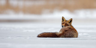 Red Fox on ice Royalty Free Stock Photography