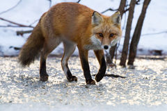 Red Fox on Ice Royalty Free Stock Images