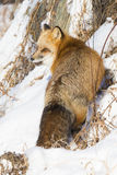 Red fox with intense look. Red fox in snow with intense look Royalty Free Stock Images