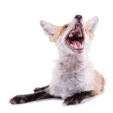 Red fox isolated Royalty Free Stock Photos