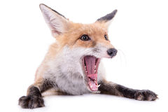 Red fox isolated Stock Photo