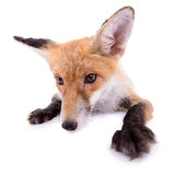 Red fox isolated Stock Photography