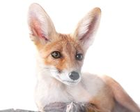 Red fox isolated on white. Portrait of a red fox isolated on white background stock image