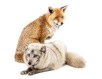Red Fox, itting and Arctic Fox, isolated on white Royalty Free Stock Images