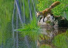 Red Fox jumping from large rock to patch of grass. stock images