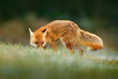 Red Fox jumping , Vulpes vulpes, wildlife scene from Europe. Orange fur coat animal in the nature habitat. Fox on the green forest. Meadow stock images