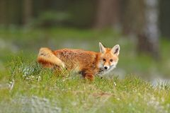 Red Fox jumping , Vulpes vulpes, wildlife scene from Europe. Orange fur coat animal in the nature habitat. Fox on the green forest. Meadow royalty free stock photography
