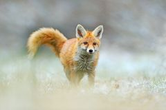 Red Fox jumping , Vulpes vulpes, wildlife scene from Europe. Orange fur coat animal in the nature habitat. Fox on the green forest. Meadow royalty free stock image