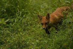 Red Fox Juvenile Stalk Royalty Free Stock Photo