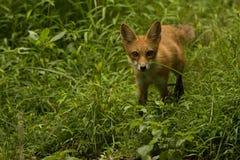 Red Fox Juvenile. In tall green grass meadow Stock Photos