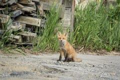 Red Fox Kid in the Adirondacks Stock Image