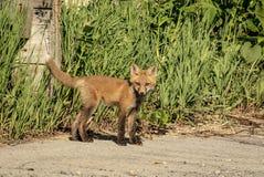 Red Fox Kid in the Adirondacks Royalty Free Stock Image