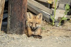 Red Fox Kid in the Adirondacks Stock Photos